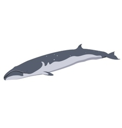 finback whale icon isolated on white background vector image vector image