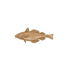 Atlantic Cod Codling Fish Drawing vector image