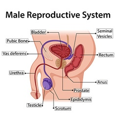 Diagram showing male reproductive system vector image vector image
