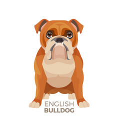 british bulldog medium-sized breed english vector image