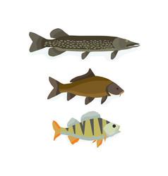 set of freshwater fish perch carp pike vector image