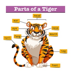 Diagram showing parts of tiger vector