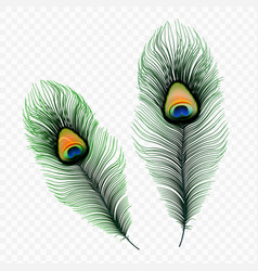 stock peacock feather isolated vector image