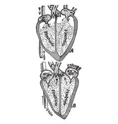 Beating heart vintage vector