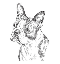 Boston terrier hand drawing portrait vector