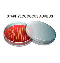 staphylococcus aureusv vector image