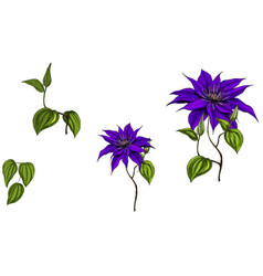 set with clematis flowers leaves and stem vector image
