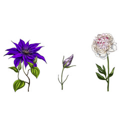Set with peony clematis and bud eustoma flowers vector