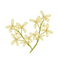 Beautiful sweet osmanthus flower on white vector