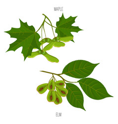 maple and elm leaves seeds green acer leaf vector image