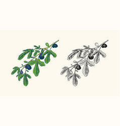 fresh fig fruit foliage detox spice foliage vector image