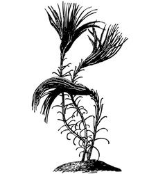 Sea lily crinoid vector