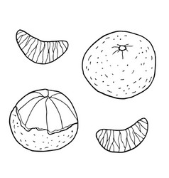 tangerine with slices hand drawn vector image