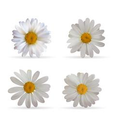 colorful naturalistic beautiful 3d chamomile set vector image