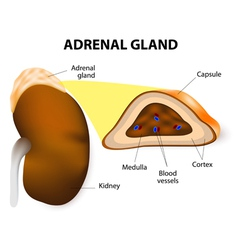 adrenal glands vector image