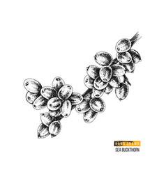 hand drawn sea buckthorn branch vector image
