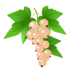 White Currant vector image