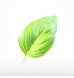 Green basil leaf vector