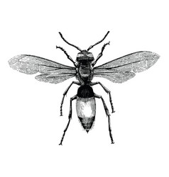 Wasp hand drawing vintage engraving isolate vector