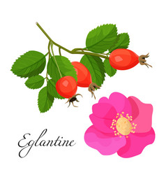 eglantine blossom and branch with red fruits set vector image