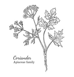 Ink coriander hand drawn sketch vector
