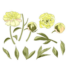 yellow peony flower elements set vector image