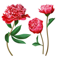 set red peonies isolated on white background vector image