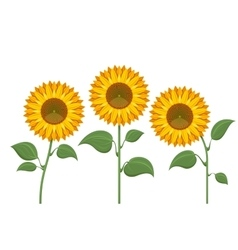 Yellow sun flowers on white background Sunflowers vector image