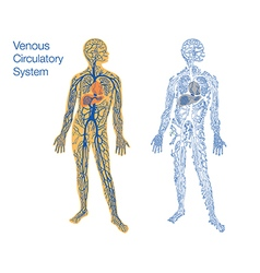 Venous circulatory system vector