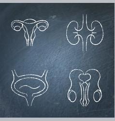 urogenital system icon sketch set on chalkboard vector image