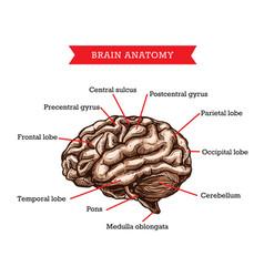 Human brain anatomy medicine aid scheme vector