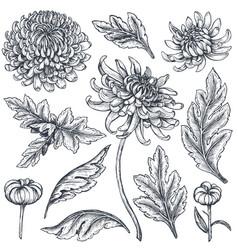 Set hand drawn chrysanthemum flowers vector