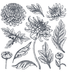 Set of hand drawn chrysanthemum flowers vector
