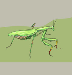 Praying mantis hand drawn vector