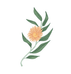 Blooming eucalyptus flower with lush yellow petals vector