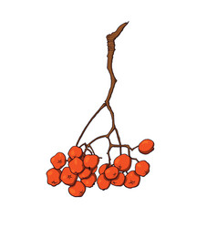 hanging bunch of red rowan ash tree berries vector image