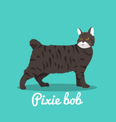 Pixie bob cute cat design vector