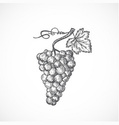 Grapes bunch with leaf and sprout hand drawn vector