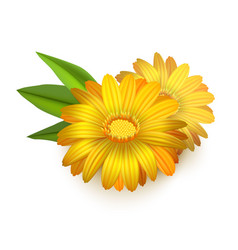 Realistic detailed 3d yellow calendula marigold vector