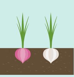onion and red onion vegetable with root in soil vector image