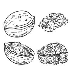 set sketch walnuts vector image