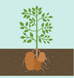Potato plant vegetable with root in soil texture vector