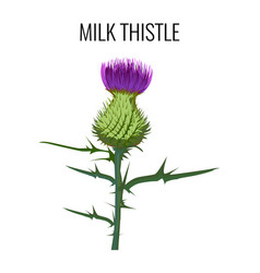 milk thistle isolated on white background blessed vector image vector image