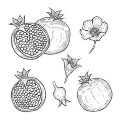 set of pomegranate vector image
