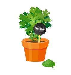 Parsley plant in pot table vector