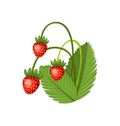 hand drawn branch wild strawberries berries with vector image