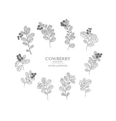 hand drawn cowberry set vector image
