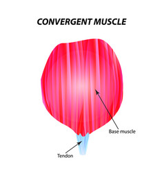 The structure of skeletal muscle convergent vector