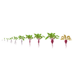 Growth stages red beetroot plant vector