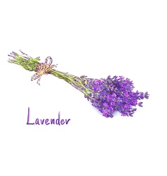Lavender bunch with a jute rope Sketch with waterc vector image vector image